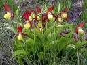 Files/1288648289 Orquidea Silvestre Cypripedium Calceolus T.jpg
